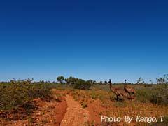 2005.09.02(15:41) エミュー(西オーストラリア エクスマウス ケープ・レンジ ナショナルパーク)