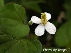 2006.06.01(17:30)ドクダミ草の花