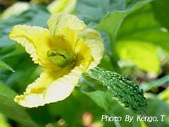 2006.08.04(14:29) ゴーヤの雌花