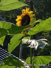 2006.08.04(14:30) ひまわりの花