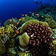 サンゴとハナダイ